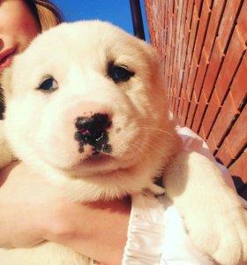 Продам щенка ( девочка)