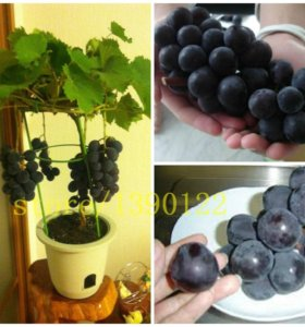 Виноград дерево Японский карлик - Семена 5 шт