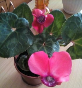 Цикламен крупноцветковый