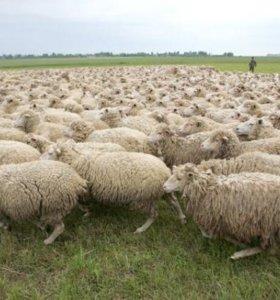 Овцы*И*бараны