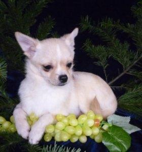 щенок чихуахуа