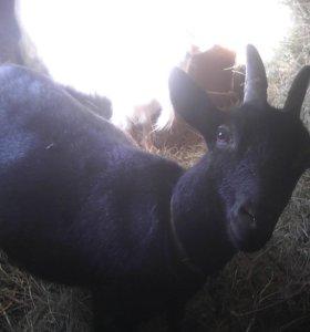 Козлята молочной породы
