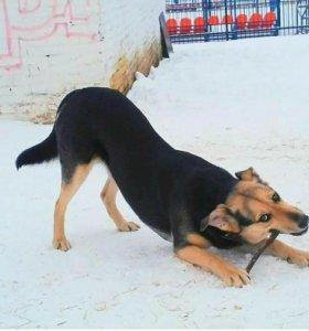 Собака овчарка метис