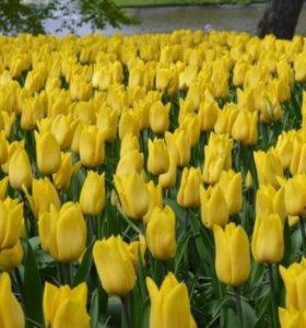 Тюльпаны, розы