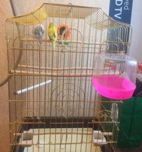 Волнистые попугай