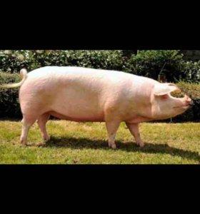 Продаются свиноматки и хряки ландрас