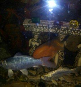 Рыбы аквариумные большие