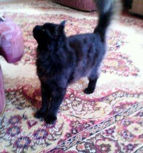 Продаю кота  Мейн-Куна  или жду подружку