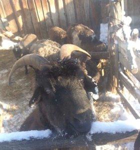 Пуховые козы,козлята
