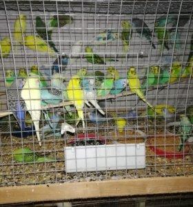 Продаются попугаи волнистые и кореллы оптом