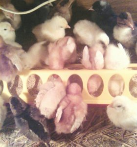 Продам цыплят - доминант, ломан браун