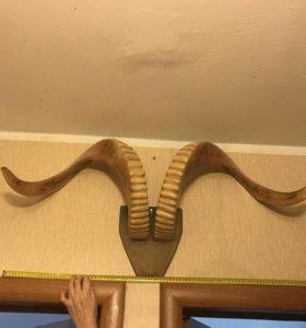 Рога горного барана (размах 1 метр)