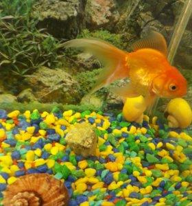 Золотая рыбка больше 10 см