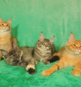Крупные котята мейн-кун