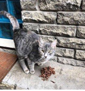 Серый котёнок кошечка