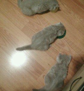Котята лиловые