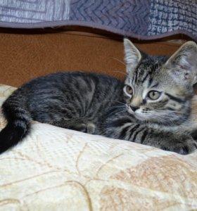 Котенок шотландский скоттиш-страйт