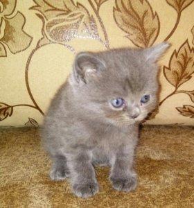Продается котенок британец
