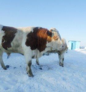 бык от высокопродуктивной коровы