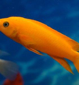 Цихлида Лампрологус апельсиновый