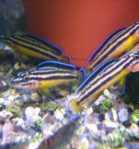 Подростки цихлид Танганьики