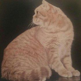 Жених шотландский короткошерстный кот