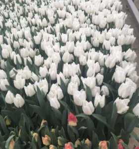 Тюльпаны для любимых