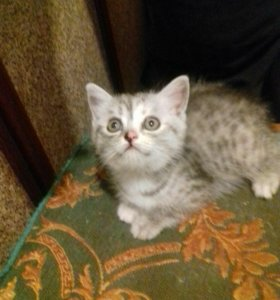 Котёнок (папа шотландский вислоухий, мама перс)
