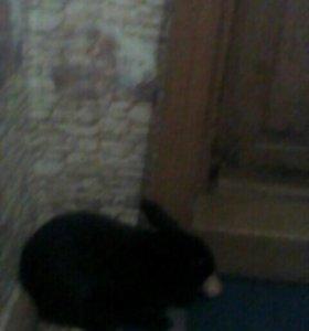 Кролик шиншиловская