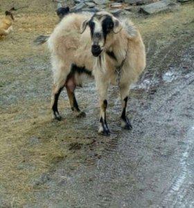 Коза дойная !обмен на козла
