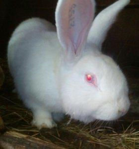 Кролики Белый Веникан кроль производитель