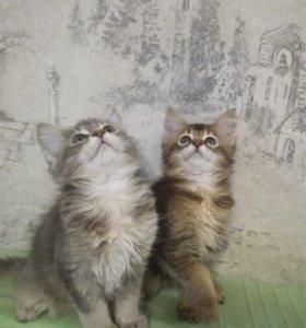 Сомалийские котятки