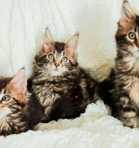Котятки мейн-кун