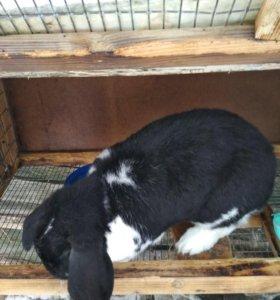 Кролики Калифорнийские и Бараны