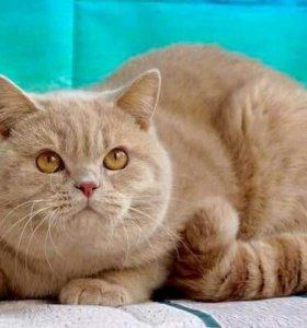 Британский кремовый котик
