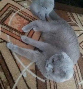 Шотландского вислоухого котёнка.