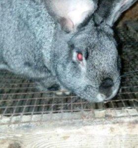 Продам кроликов. Порода шиншила.
