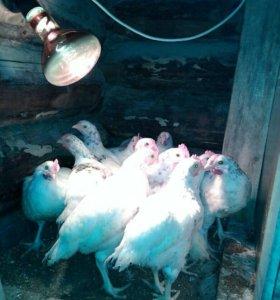 Цыплята пушкинские  2-х месячные