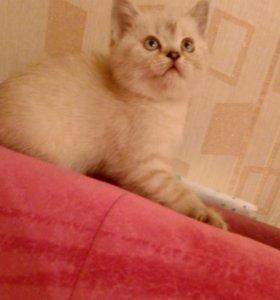 Британские мишки котята