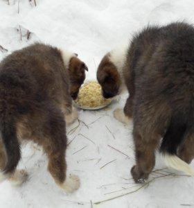 Собака, щенок, овчарка.