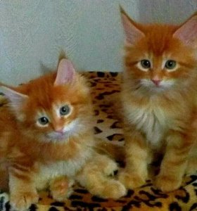 Котята Мейн-кун продам