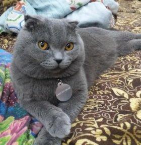 Вязка. Шотландский вислоухий кот