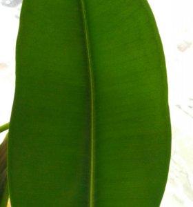 Фикус с длиной листа25см