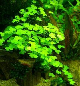 Гидрокотила трипартита( Аквариумное растение )