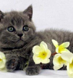 Благородные британские котята