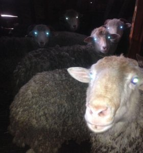 Продам овец (бараны, ярки, ягнята, овечки)