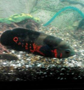 Аквариумные рыбки- Астронотусы,Акары,Цихлозома