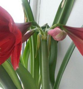 Комнатный цветок гиппеаструм.