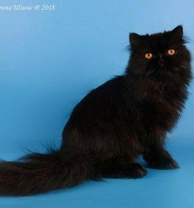 Персидский котенок.