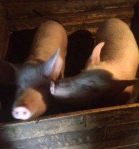 Продаётся домашняя свинина